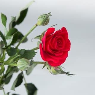 History of roses |ethnicspoon.com